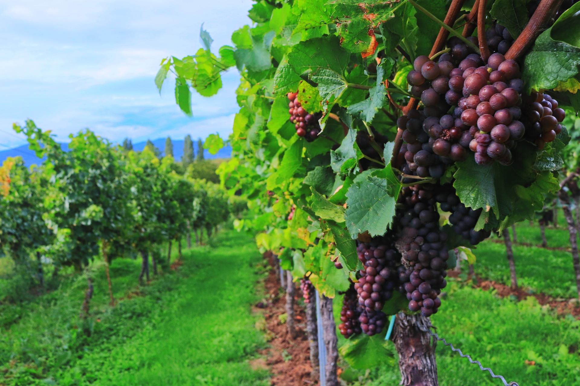 paysage de vigne